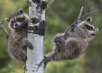Raccoon (Procyon Lotor) two babies in tree, North America
